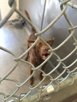 Chocolate lab in the shelter