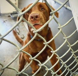 Scared chocolate lab in the shelter